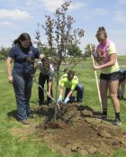 Due to the two tree grants the City of Monticello received, 12 trees were planted at MHS, four at Shannon School, and nine at the middle school. Here, Rachel Nelson, Adam Schmitt, and Micah Williams work at securing a newly planted tree on the high school grounds.